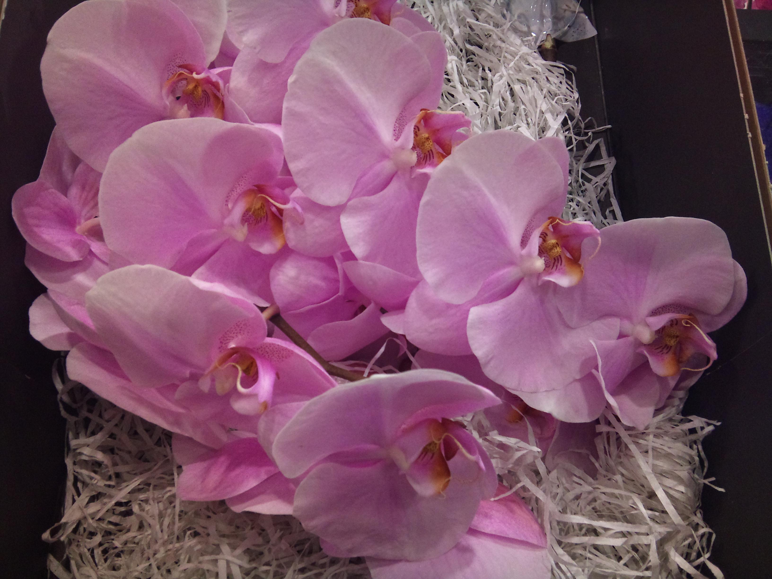 2012-11-phalaenopsis.jpg?mtime=20171003160405#asset:12700