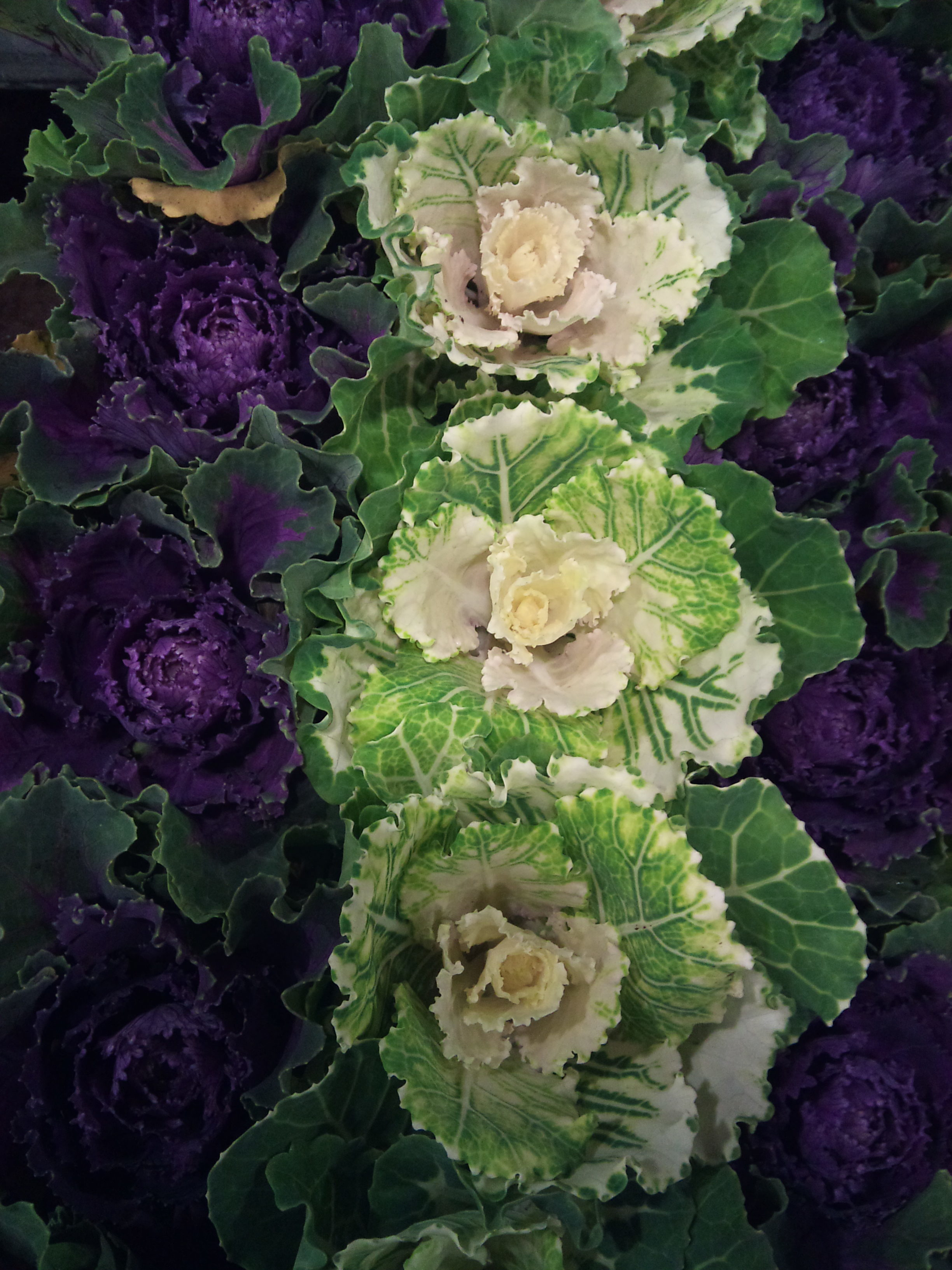 2012-11-potted-cabbage.jpg?mtime=20171003160414#asset:12702