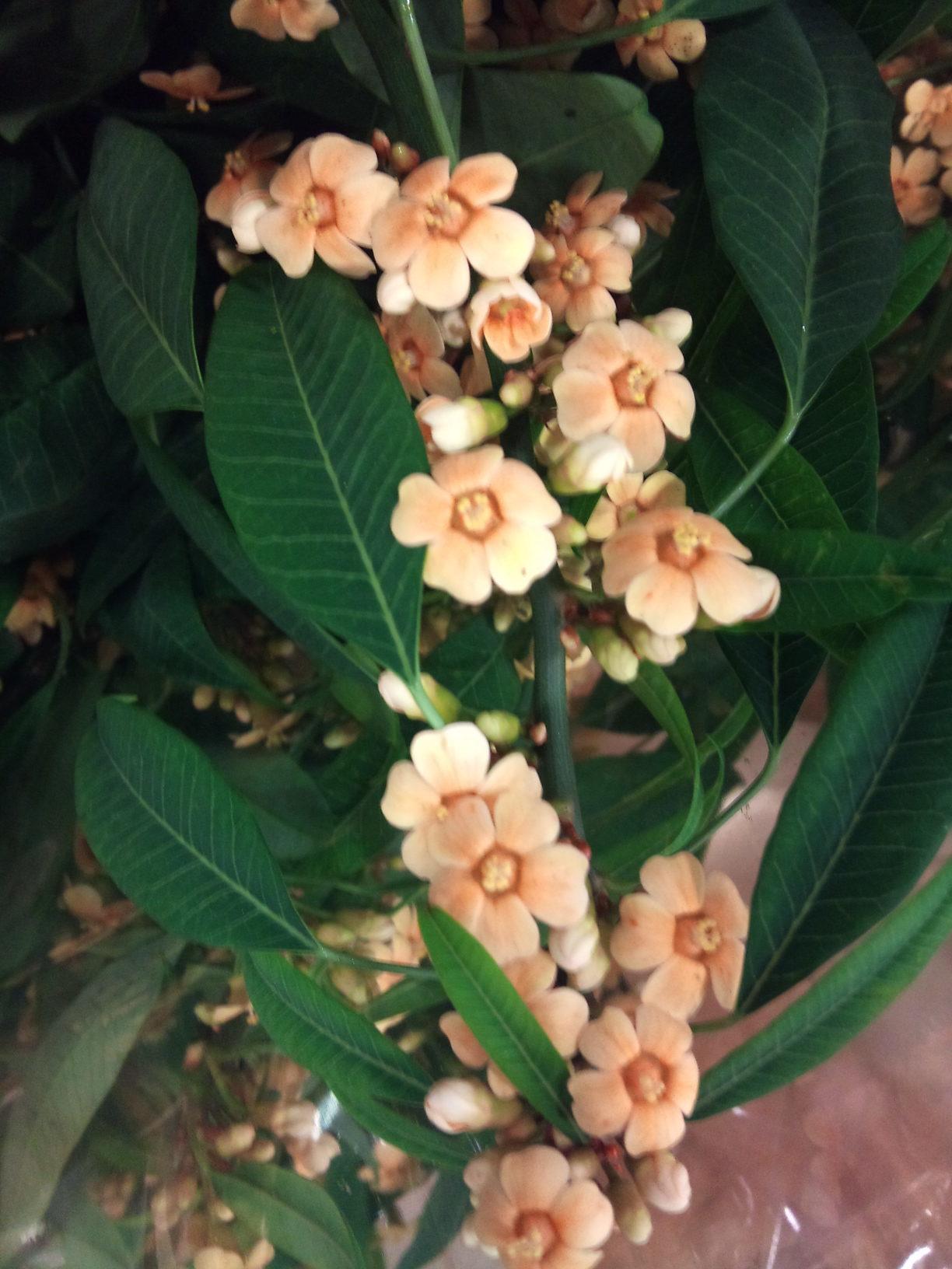 2012-12-Euphorbia-fulgens-Cognac.jpg?mtime=20171003154058#asset:12634