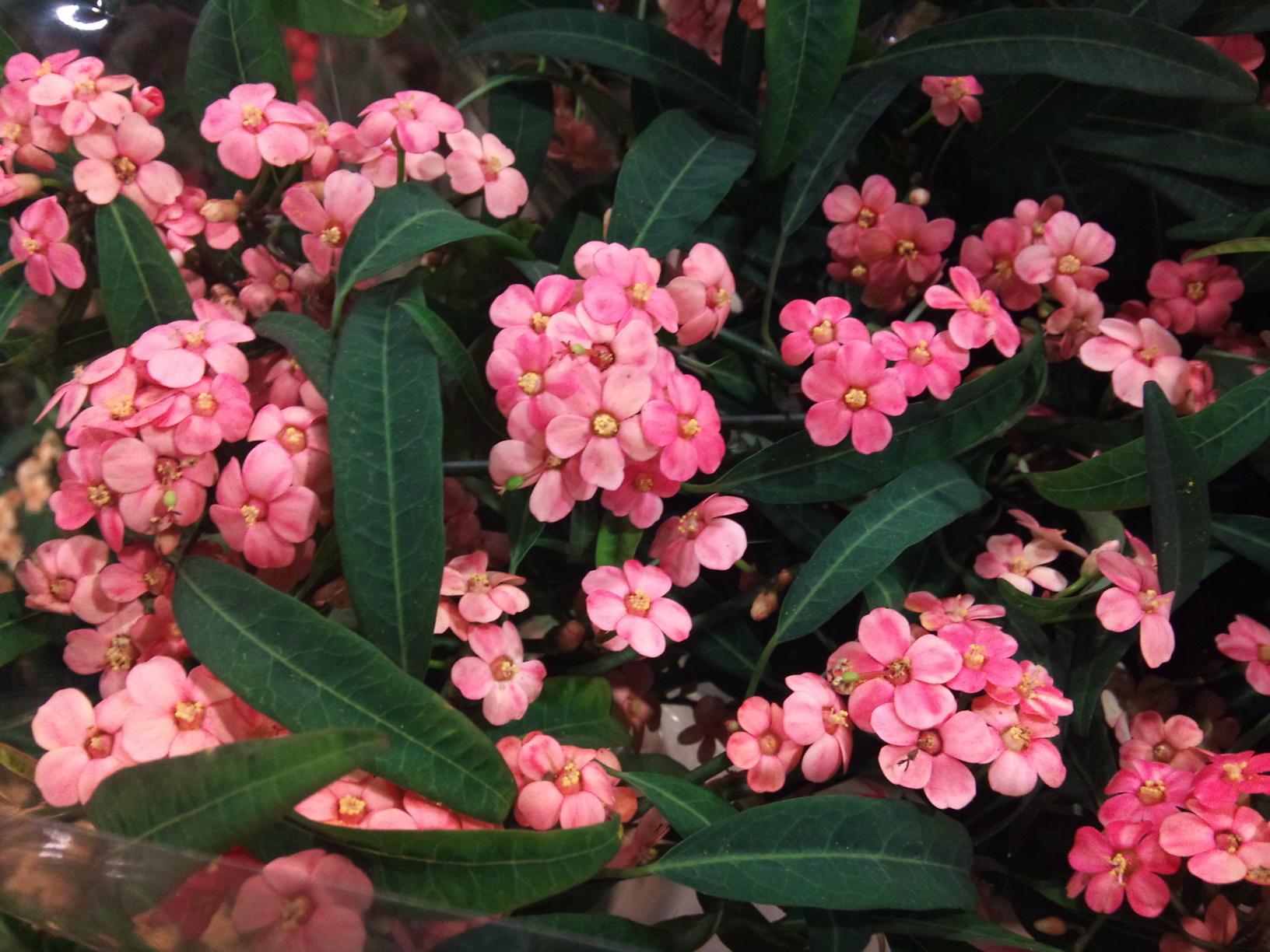 2012-12-Euphorbia-fulgens-Pink-Baron.jpg?mtime=20171003154059#asset:12635