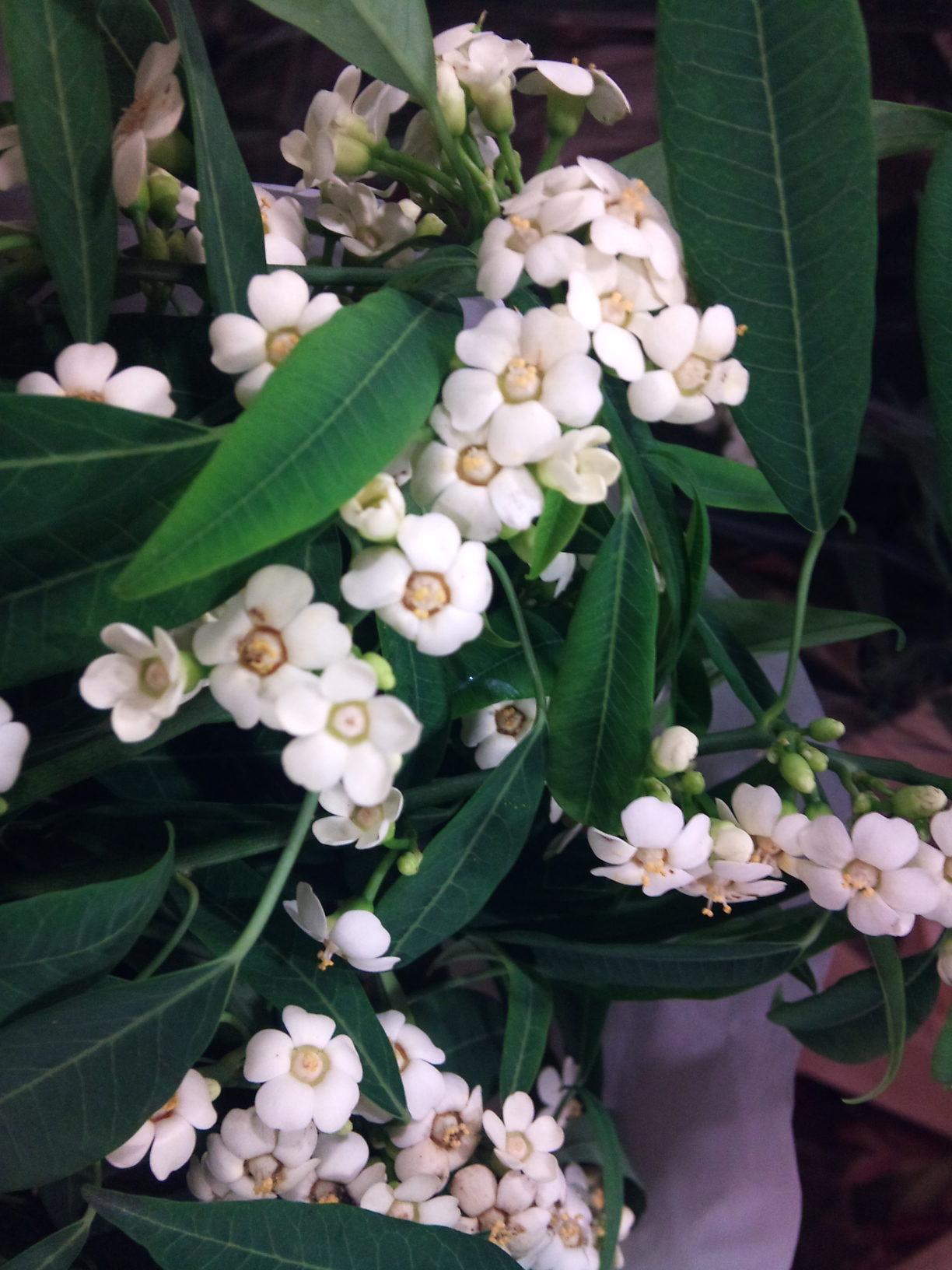 2012-12-Euphorbia-fulgens-Quicksilver.jpg?mtime=20171003154101#asset:12637