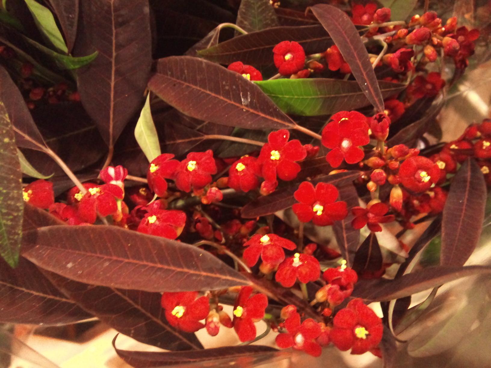 2012-12-Euphorbia-fulgens-Samtrot.jpg?mtime=20171003154103#asset:12638