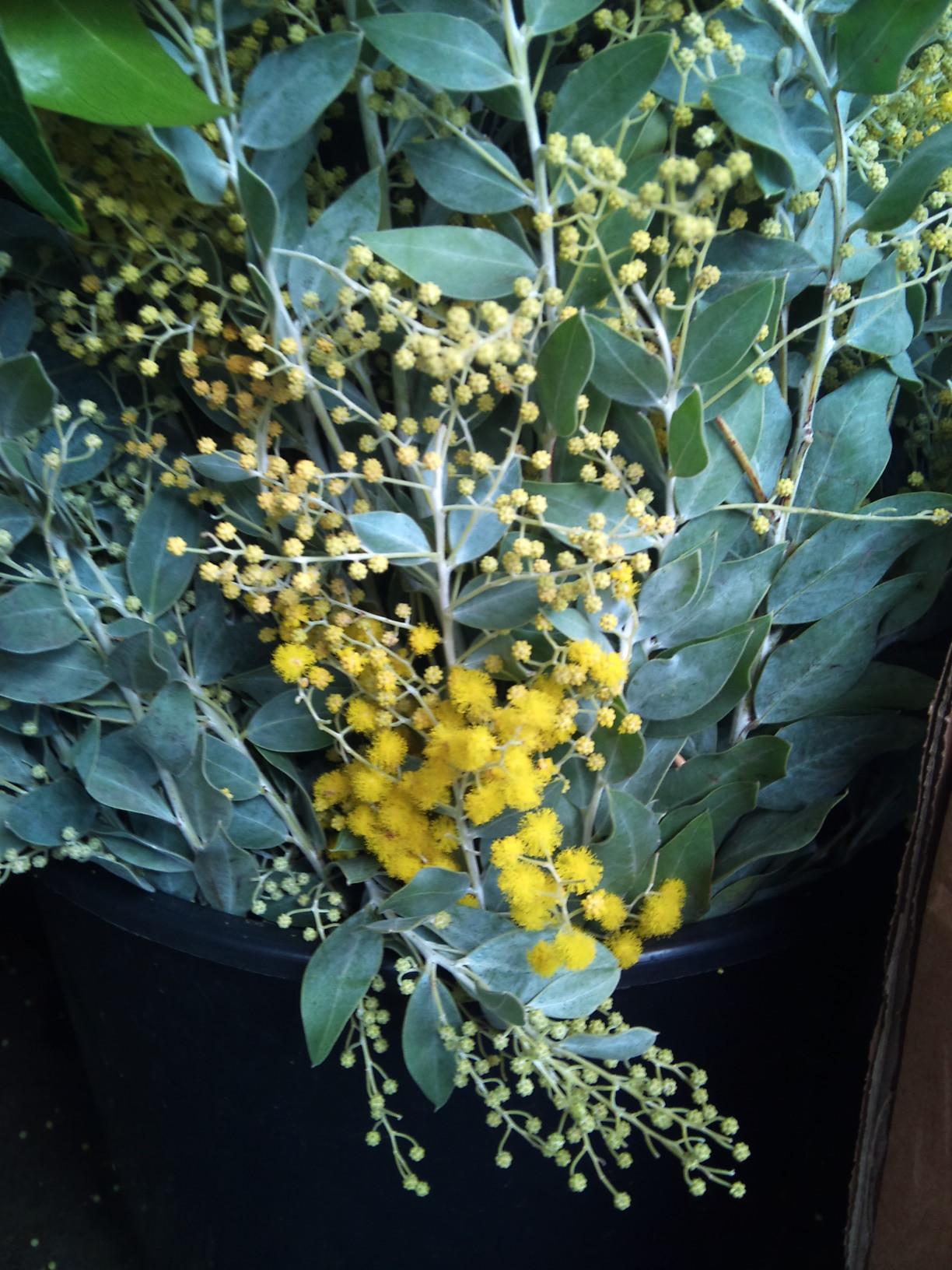 2012-12-mimosa.jpg?mtime=20171003154120#asset:12654