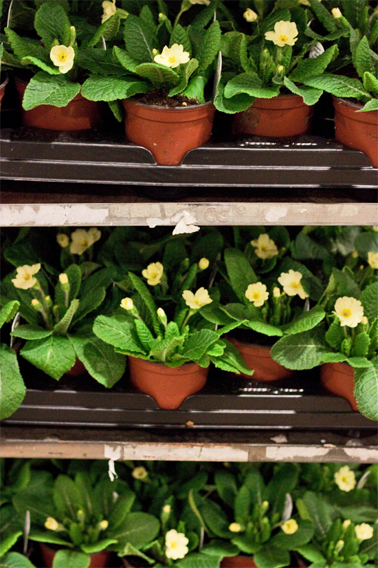 2013-02-Image-15-Evergreen-Exterior-Services-Primroses-Flowerona.jpg?mtime=20171003151744#asset:12565