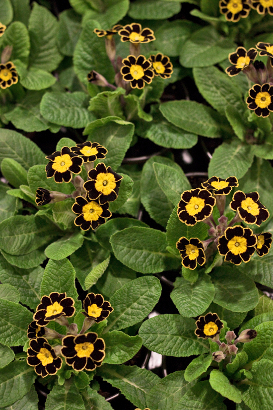 2013-02-Image-16-Evergreen-Exterior-Services-Primula-Gold-Lace-Flowerona.jpg?mtime=20171003151745#asset:12566