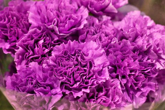 2013-02-Image-24-Bloomfield-Moonlite-Carnations-Flowerona.jpg?mtime=20171003151751#asset:12574