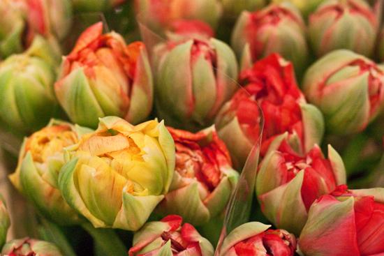 2013-03-1-Double-tulips-Flowerona.jpg?mtime=20170929144901#asset:12327