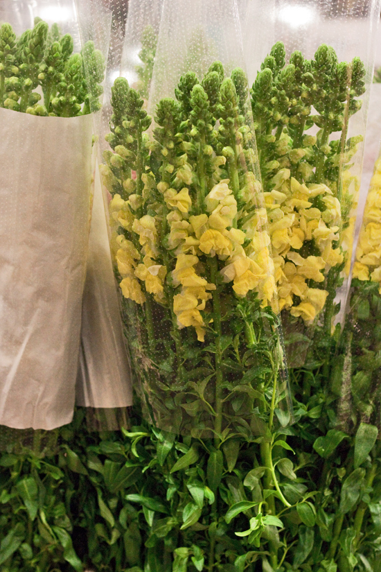 2013-03-18-Italian-Antirrhinums-Flowerona.jpg?mtime=20170929144911#asset:12344