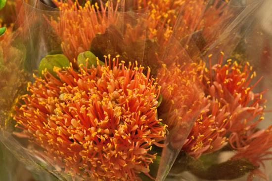 2013-03-20-Scadoxus-Orange-Wonder-Flowerona.jpg?mtime=20170929144912#asset:12346