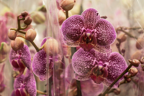 2013-03-26-Phalaenopsis-Orchids-1-Flowerona.jpg?mtime=20170929144916#asset:12352