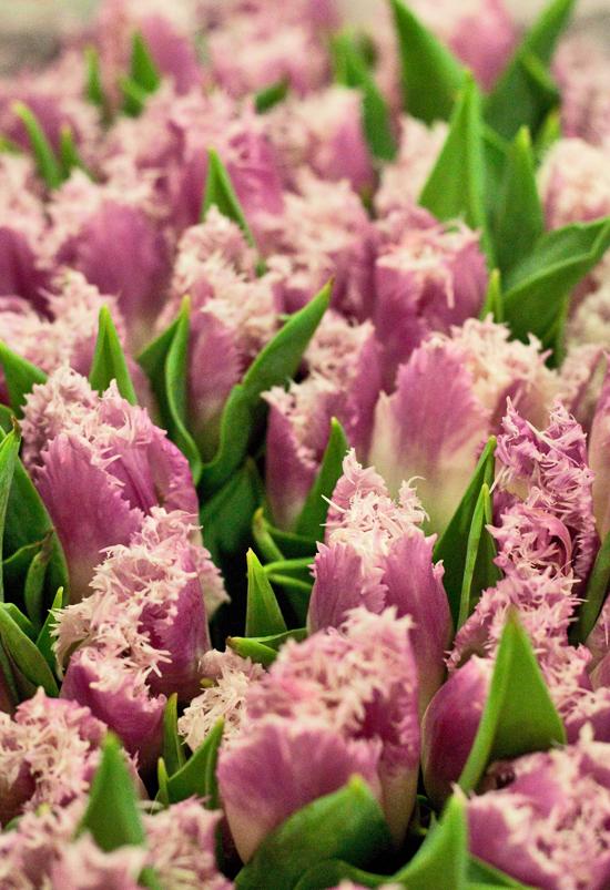 2013-03-4-Fringed-Tulips-Flowerona.jpg?mtime=20170929144903#asset:12330