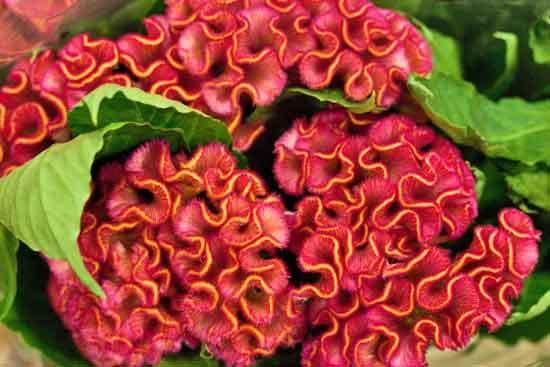 2013-04-11-Celosia-Dennis-Edwards-New-Covent-Garden-Flower-Market-Flowerona.jpg?mtime=20170929143152#asset:12307