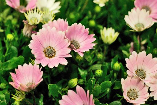 2013-04-14-Osteospermum-Evergreen-Exterior-Services-New-Covent-Garden-Flower-Market-Flowerona-2013-04-1.jpg?mtime=20170929143153#asset:12310