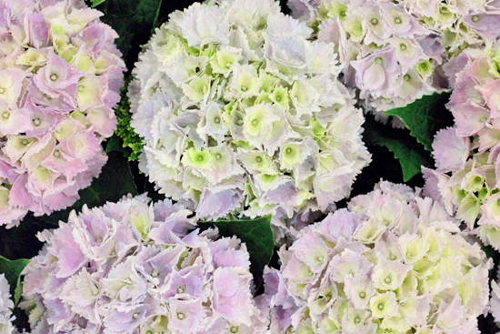 New-Covent-Garden-Flower-Market-July-Market-Report-Flowerona-31.jpg?mtime=20170913122255#asset:10170