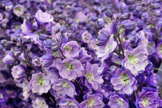 New-Covent-Garden-Flower-Market-July-Market-Report-Flowerona-7.jpg?mtime=20170913122240#asset:10146