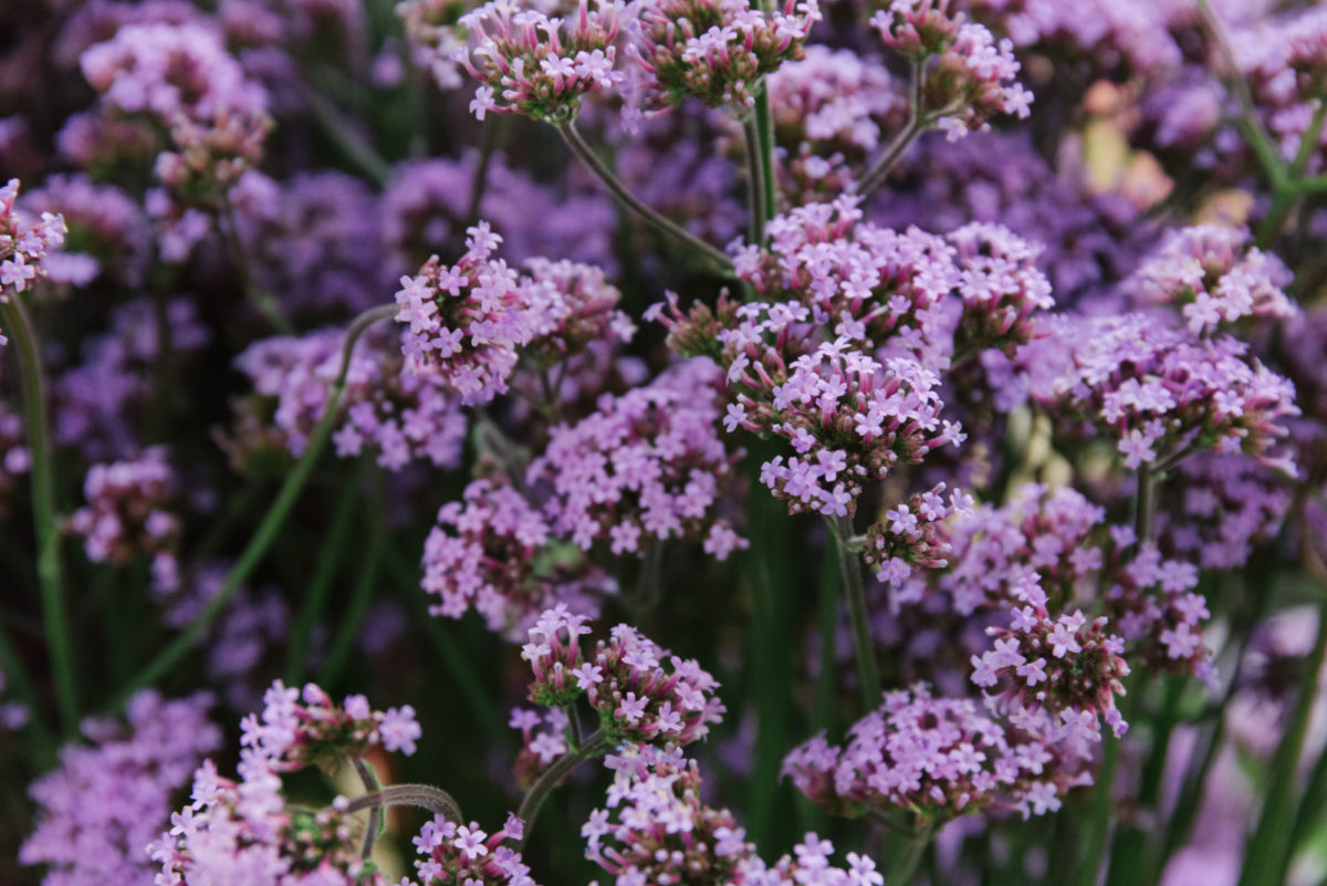 New Covent Garden Flower Market July 2018 A Florists Guide To Ultra Violet Pantone Colour Of The Year 2018 Rona Wheeldon Flowerona British Verbena Bonariensis At Zest Flowers