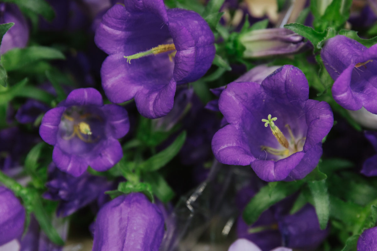 New Covent Garden Flower Market July 2018 A Florists Guide To Ultra Violet Pantone Colour Of The Year 2018 Rona Wheeldon Flowerona Campanula Medium Champion Blue At Zest Flowers