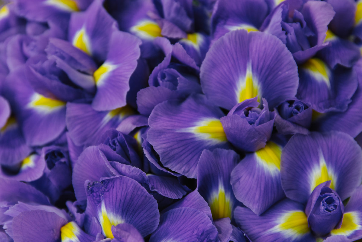 New Covent Garden Flower Market July 2018 A Florists Guide To Ultra Violet Pantone Colour Of The Year 2018 Rona Wheeldon Flowerona Irises At R French Sons