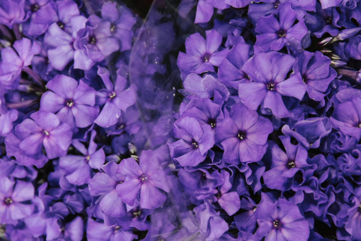 New Covent Garden Flower Market July 2018 A Florists Guide To Ultra Violet Pantone Colour Of The Year 2018 Rona Wheeldon Flowerona Phlox Paniculata Blue Paradise At R French Sons