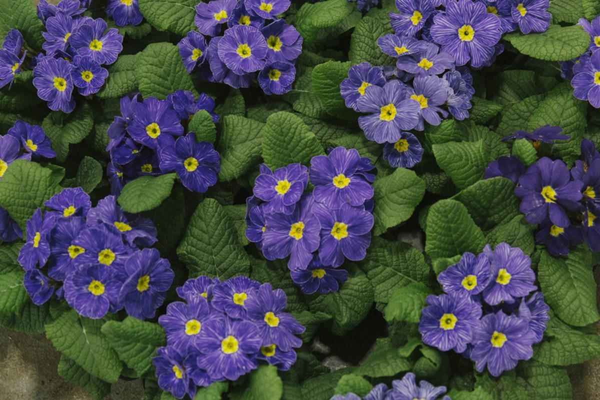 New Covent Garden Flower Market March 2019 In Season Report Rona Wheeldon Flowerona British Delft Primroses At L Mills