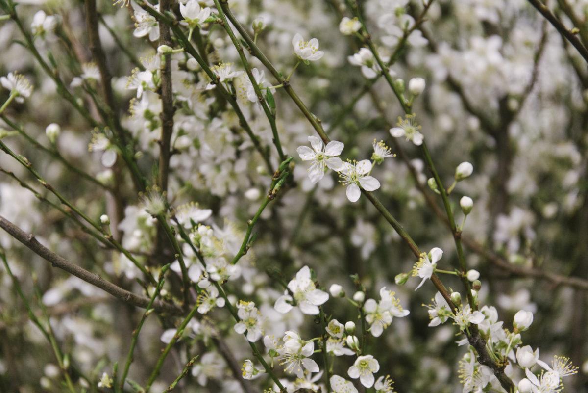 New Covent Garden Flower Market March 2019 In Season Report Rona Wheeldon Flowerona British White Prunus Blossom At Porters Foliage