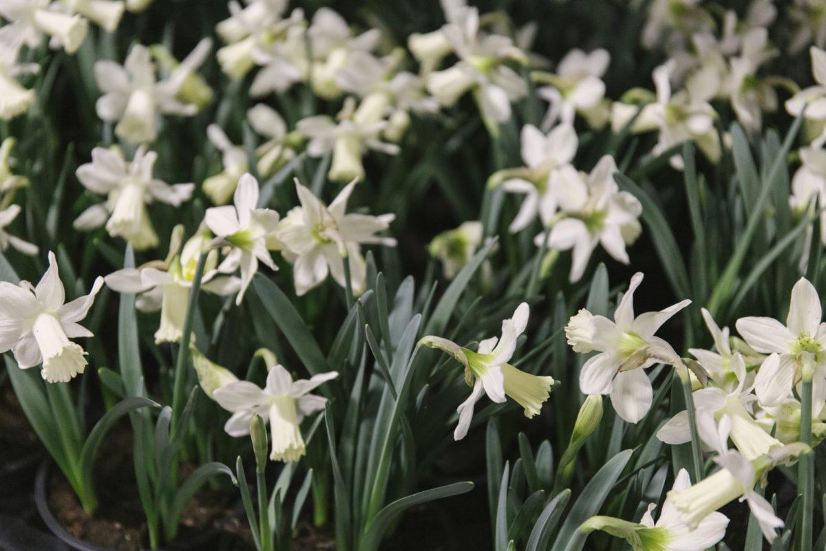 New Covent Garden Flower Market March 2019 In Season Report Rona Wheeldon Flowerona Snow Baby Narcissus At Evergreen
