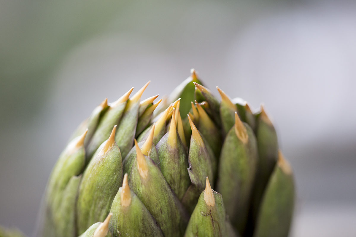 Fruit And Vegetable Market Chefs Guide To Artichokes March 2018 Spiny Artichoke Close Up