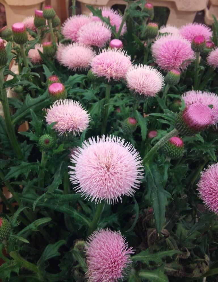 cirsium-pink-beauty.jpg?mtime=20171003164226#asset:12746