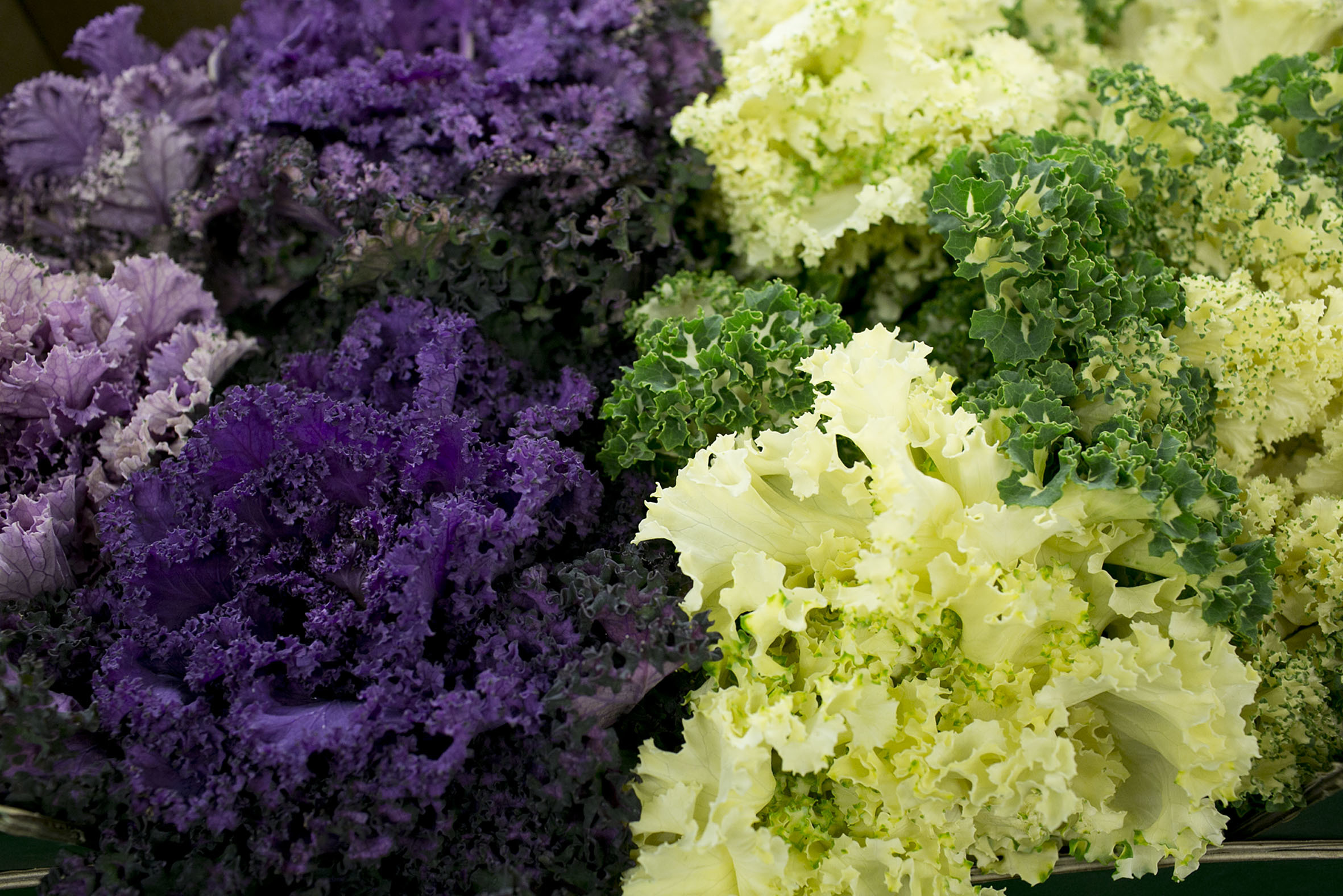fruit-and-vegetable-market-report-february-2014-coloured-kale.jpg?mtime=20170922113403#asset:11343