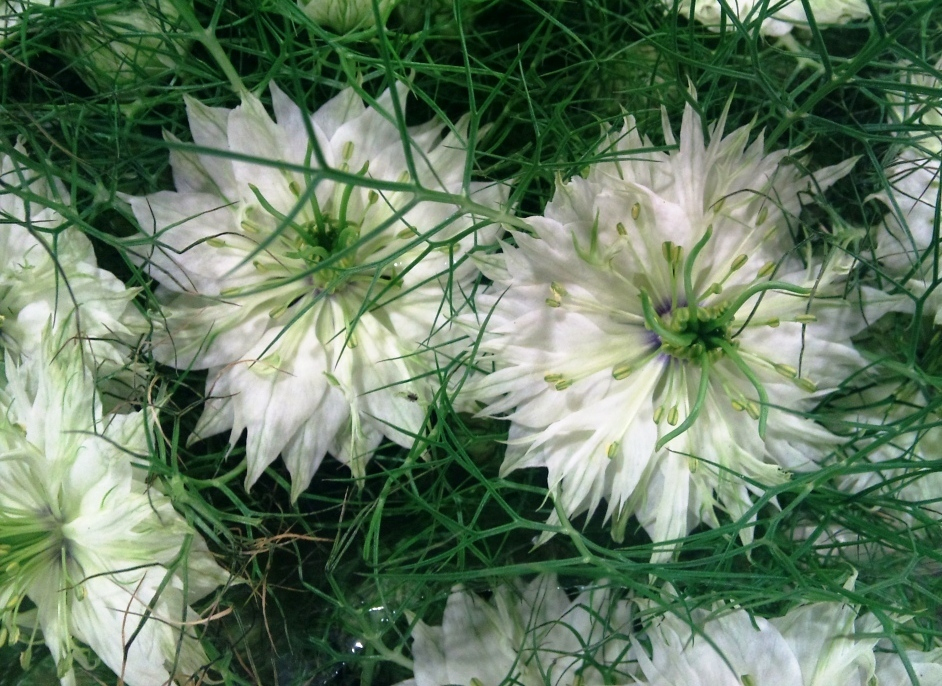 love-in-a-mist.jpg?mtime=20171003164158#asset:12745