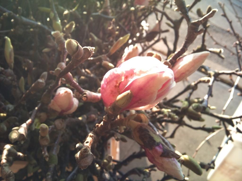 magnolia.jpg?mtime=20171003165922#asset:12798