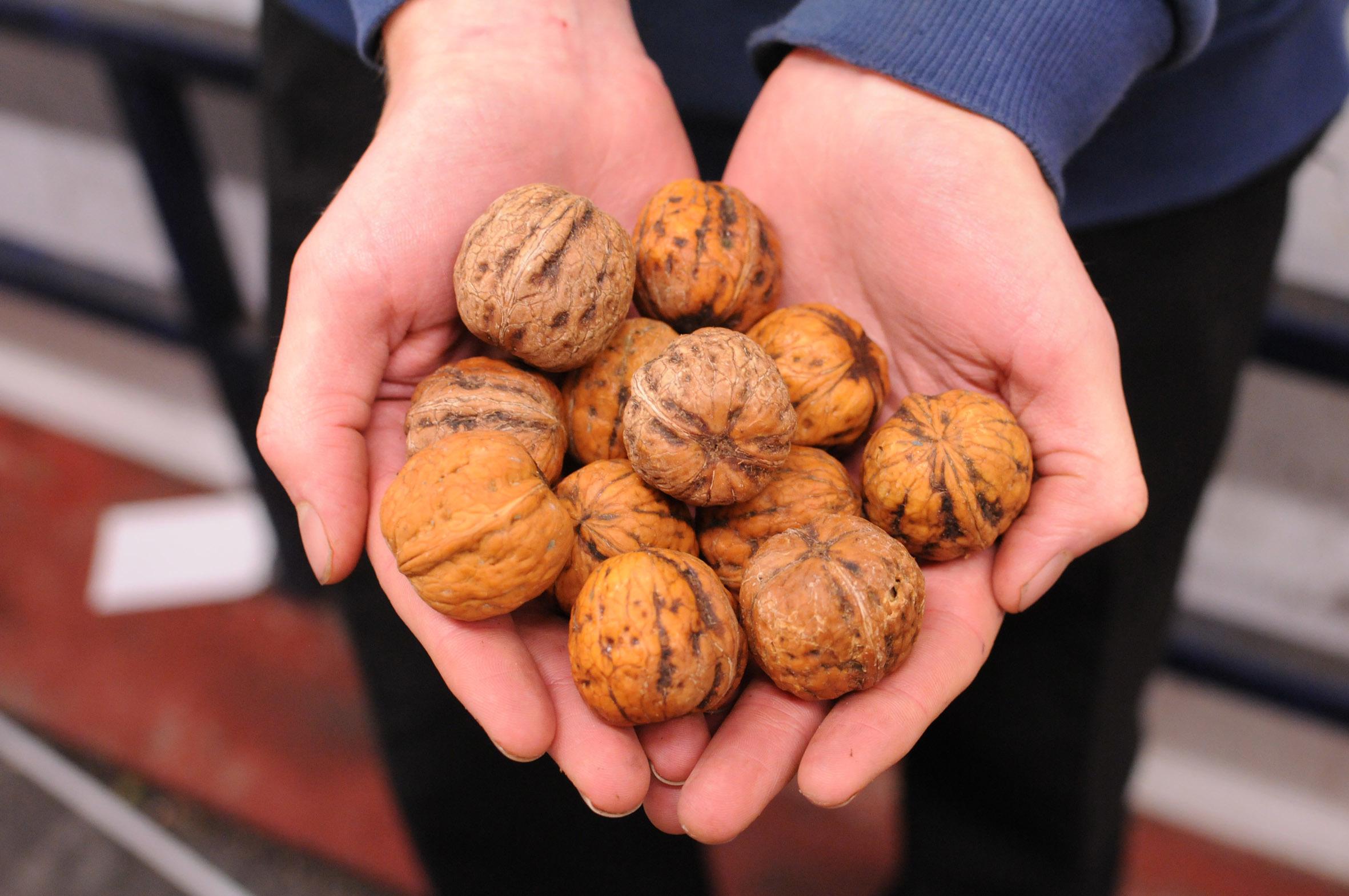 walnuts.jpg?mtime=20170922120533#asset:11421