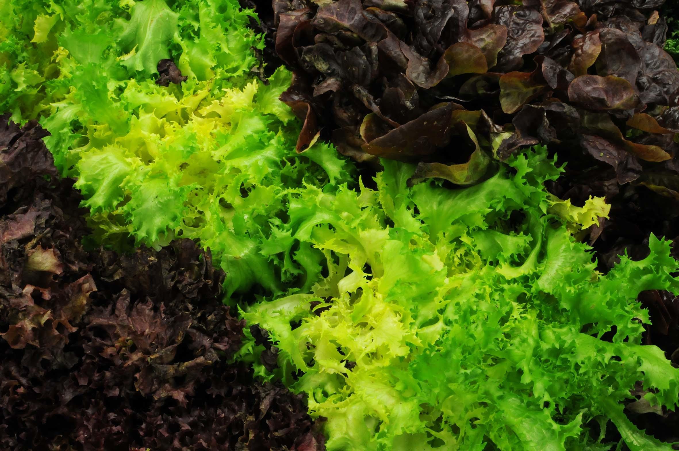 winter-lettuce.jpg?mtime=20170922142511#asset:11505