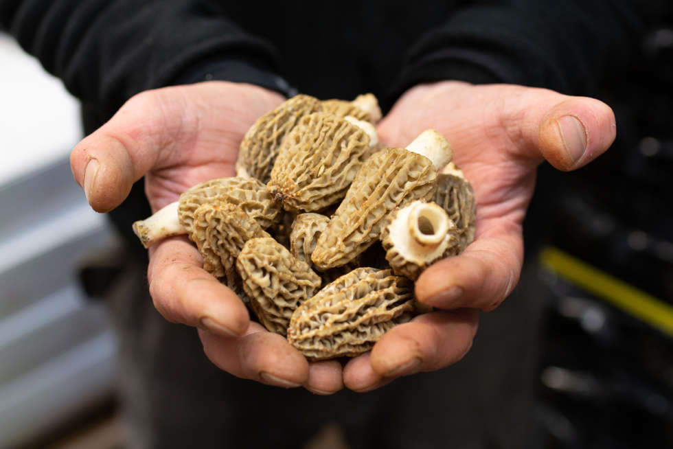 A chef's guide to morel mushrooms